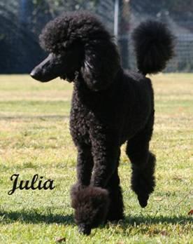 Tiara Standard Poodles World Class Black Standard Poodles